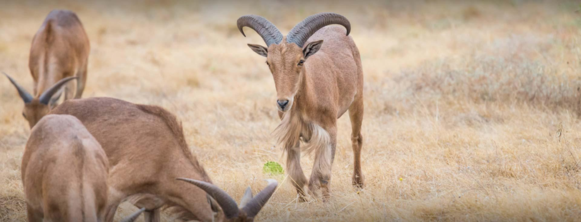New Mexico Barbary Sheep Guide Service